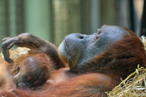 Orangutan mother and baby picture and jigsaw puzzle