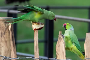 parakeets jigsaw puzzle