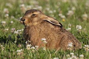Young hare, wildlife jigsaw puzzle