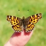 Butterfly jigsaw puzzles - 12 free online jigsaw puzzles of butterflies