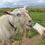 Goat Picture Puzzle - Free Online Jigsaw
