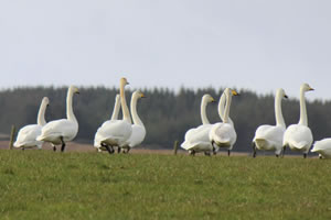 Whooper Swans Jigsaw Puzzles
