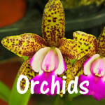 Orchids | 12 jigsaw puzzles of flowering orchids
