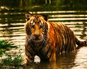 Wildlife | Tiger Jigsaw