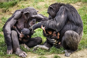 Animal Jigsaw Puzzles - Monkeys, Chimps and Apes