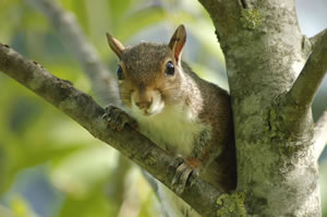 Jigsaw puzzles of squirrels and free pictures