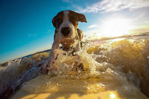 Surfing Dog Jigsaw