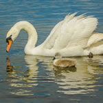 24 Swan Jigsaw Puzzles