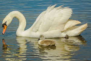 Jigsaw Puzzles of Swans