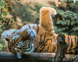 6 Tiger Jigsaw Puzzles